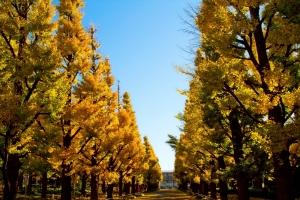 慶応大学の紅葉した銀杏並木
