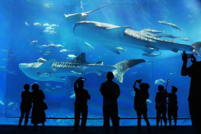 水族館で眺めるジンベエザメ